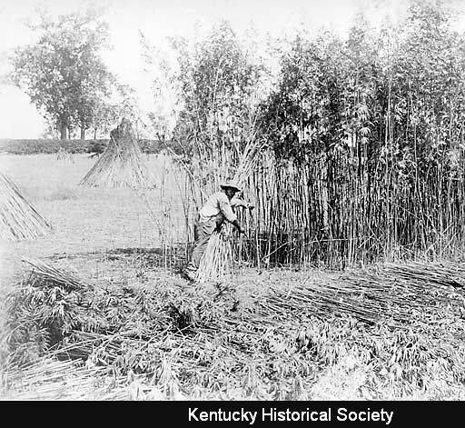 Hemp cutting, 1905