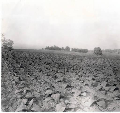 Daviess County tobacco field, southeast of Owensboro