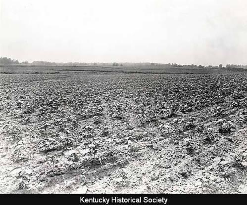 Fulton County Cotton Field